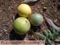 Se venden 18 tareas sembradas de limones y otros frutales en Monte Plata